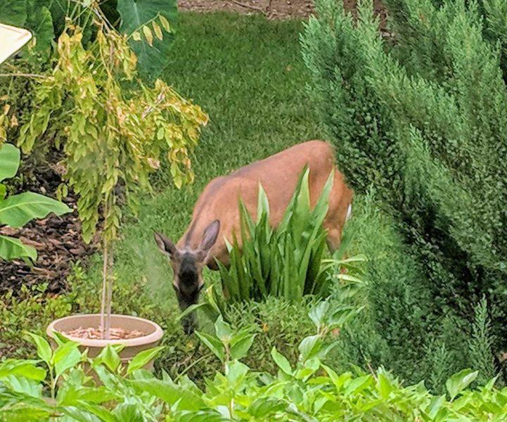 Deer eating shrub leaves