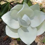 Magnolia tree flower