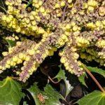 mahonia blooms