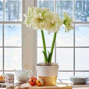 White Flower Farm Amaryllis Gifts