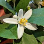 meyer lemon tree flower