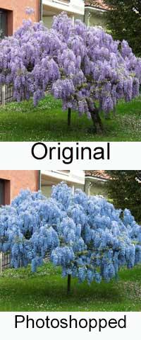 Blue Chinese Wisteria Photoshopped