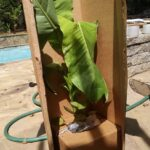 basjoo banana tree unboxing