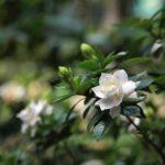 Gardenia BuyEvergreenShrubs.com